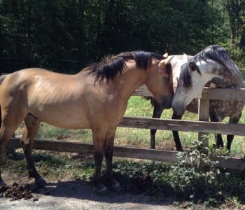 Belgian-Fjord Stallion – New Addition to Our Herd!