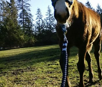 No Pressure, No Fear: Teaching Your Young Foal to Lead – Part 2