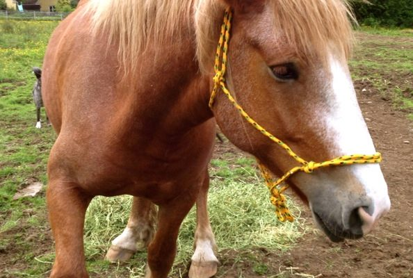 How To Make a Draft-Size Rope Halter & Neck Loop