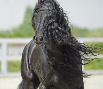 The Horse As Mirror