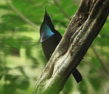 Wild Beauty: Shapeshifting, Dancing Crow Relatives