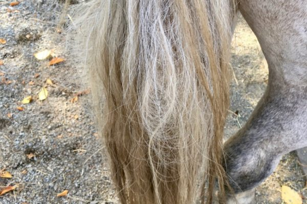 Natural Method to Untangle a Severely Matted Tail