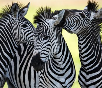 Why do Flies Avoid Zebras yet Love Horses?