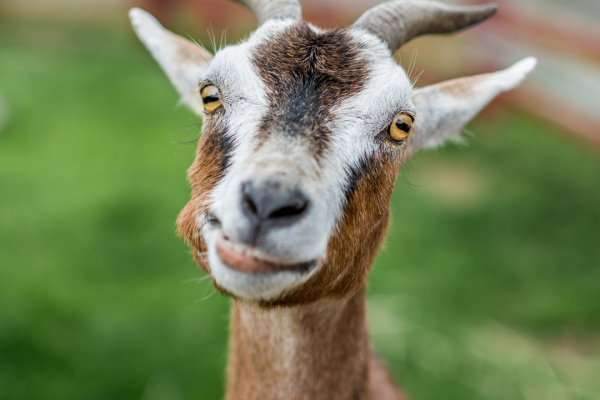 How to Use Goats for Pasture Management