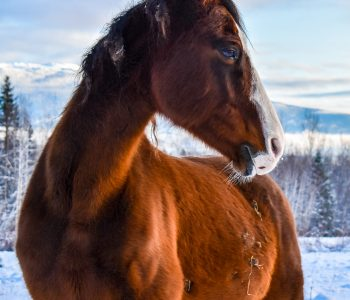 Singing Horse Herd North