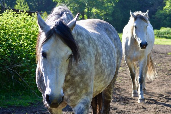 Lazer Tapping For Mare with Laminitis