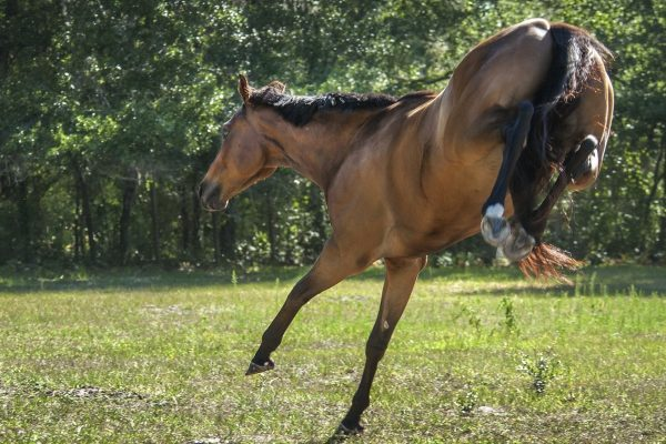 Wild Oregano Heals Horse's Intense Bug Allergy & Itching